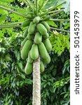 fresh papaya tree with bunch of ... | Shutterstock . vector #501453979