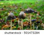 Roadside Mushroom  Coprinus...