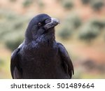 Small photo of Common crow (Corvus corax) close up portrait. Ravens are known for their intelligence and are present in many legends and myths.
