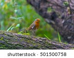 A Robin On A Moss Covered Tree...