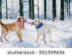 Stock photo portrait of a dog outdoors in winter two young golden retriever playing in the snow in the park 501509656