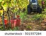 italian grape harvest for wine... | Shutterstock . vector #501557284