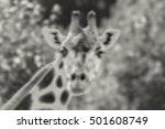animal  giraffe portrait ... | Shutterstock .eps vector #501608749