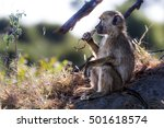 a thoughtful baboon having its... | Shutterstock . vector #501618574