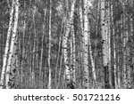 birch forest background  black... | Shutterstock . vector #501721216