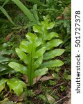 broad leaf fern in new zealand...   Shutterstock . vector #501727378