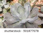cactus. a type of cactus.   Shutterstock . vector #501877078