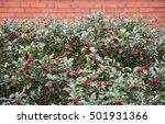 Background Of Ilex Aquifolium....