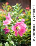 Small photo of Pink hollyhock (Althaea rosea) flower in the garden