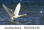 mute swan is taking off from... | Shutterstock . vector #502018150