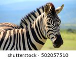 Burchell's Zebra  Addo Nationa...