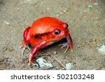 tomato frog spotted in... | Shutterstock . vector #502103248