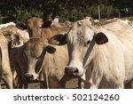herd of cattle in brazil   Shutterstock . vector #502124260