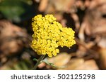 Small photo of Macro photo of fernleaf yarrow flowers (Achillea filipendulina), California