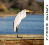Great Egret  Aka Common Egret ...