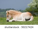 Laying Nice Haflinger Pony Foal