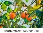 Japanese Persimmon Tree Orange...