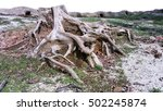 Tree Stump With Exposed Roots....