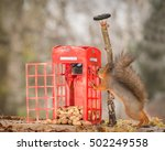 Red Squirrel Standing With An...