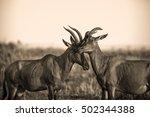 two topi antelopes in kenya's...   Shutterstock . vector #502344388