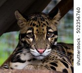 Portrait Of Clouded Leopard ...