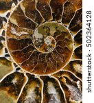 Small photo of section of a fossilized ammonite interior