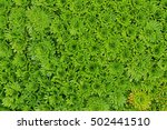 evergreen foliage from mossy... | Shutterstock . vector #502441510