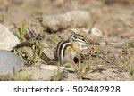 Least Chipmunk On Dirt With...