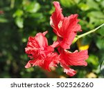 close up of hibiscus double... | Shutterstock . vector #502526260
