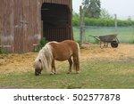 Shetland Pony Horse Eat Farm