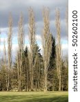 A Line Of Poplars In The...