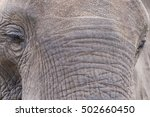 Small photo of Elephant closeup: trunk, eyes, skin; elephants abound in Kruger National Park, South Africa