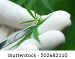 cutting cannabis leaves holding ... | Shutterstock . vector #502682110