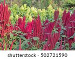 Small photo of Indian red and green amaranth plants in field. Amaranth is cultivated as leaf vegetables, cereals and ornamental plants. Genus is Amaranthus. Seeds are rich source of proteins and amino acids.