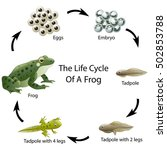 the life cycle of a frog | Shutterstock . vector #502853788