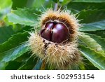 Chestnuts In Chestnut On Tree ...