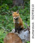 Small photo of Red fox kit (Vulpes vulpes) sitting on a log in Algonquin Park