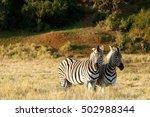 Zebra Standing And Looking In ...