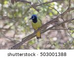 Small photo of Green Jay in the Laguna Atascosa Wildlife Refuge in Texas