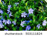 Periwinkle Plant With Green...