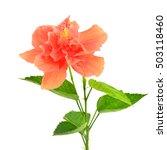 orange hibiscus flower and... | Shutterstock . vector #503118460