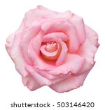 Stock photo a fully open pink rose showing a spiral of petals at the center isolated on white 503146420
