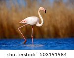 greater flamingo ... | Shutterstock . vector #503191984