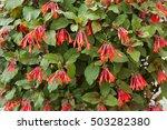 Red Flowers Of Honeysuckle...