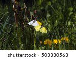 Small photo of Courting or Mating ceremony Common Brimstone Butterfly (Gonepteryx rhamni) among flowers Dandelion. mouth settle down (upside down) revealing the underside of its wings