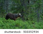 brown bear in a forest... | Shutterstock . vector #503352934