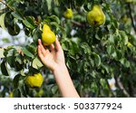 person harvesting pears on a... | Shutterstock . vector #503377924