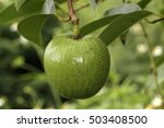 Small photo of Pond Apple, Alligator Apple, Monkey Apple (Annona glabra)