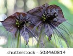 Small photo of Closeup of Tacca chantrieri Andre, Chantrier Tacca