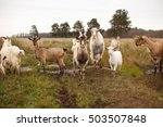 herd of goats in a field with... | Shutterstock . vector #503507848